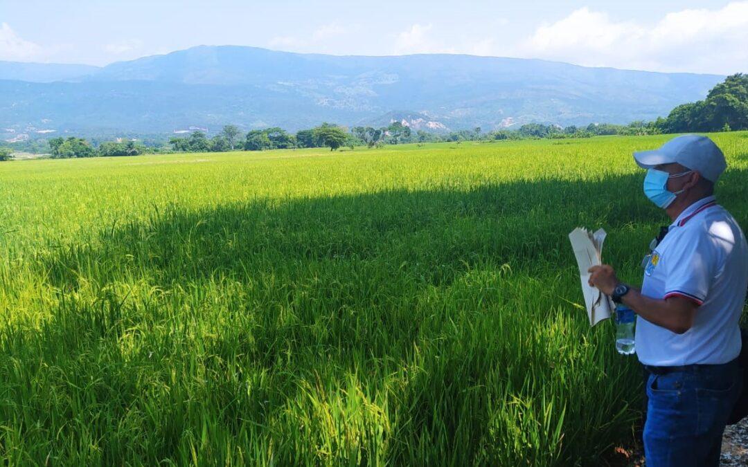 Familia cultivadora de arroz, recupera predios en zona rural de Cúcuta