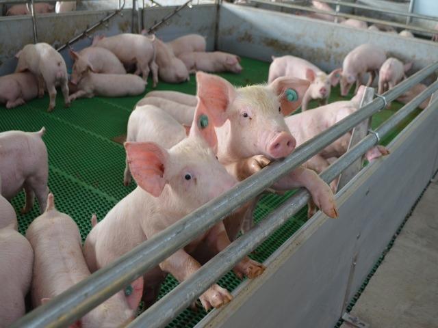El ICA alerta sobre la confirmación de peste porcina africana en República Dominicana